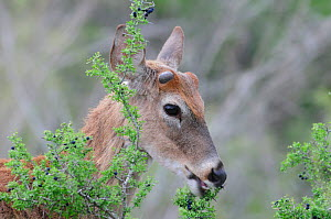 White-tailed Deer (Odocoileus virginianus), buck eating berries. Laredo, Webb County, South Texas, USA, April. - Rolf Nussbaumer