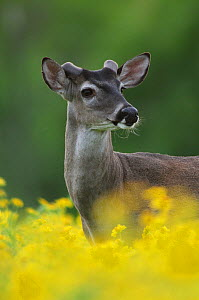 White-tailed Deer (Odocoileus virginianus) buck in flowering Cowpen Daisy/ Golden Crownbeard (Verbesina encelioides). Laredo, Webb County, South Texas, USA, April. - Rolf Nussbaumer