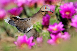White-winged Dove (Zenaida asiatica), adult among Strawberry Hedgehog Cactus (Echinocereus enneacanthus) flowers. Laredo, Webb County, South Texas, USA, April. - Rolf Nussbaumer