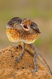 Frilled Lizard (Chlamydosaurus kingii) with its neck frill out as a threat display. Queensland, Australia, November.  -  Dave Watts