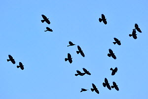 Alpine Chough / Yellow-billed Chough (Pyrrhocorax graculus) flock in flight. Dolomites, Italy, July.  -  Philippe Clement