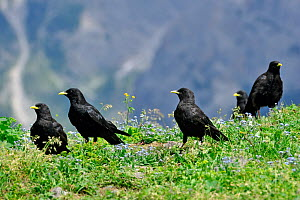 Alpine Chough / Yellow-billed Chough (Pyrrhocorax graculus) flock in alpine meadow. Dolomites, Italy, July.  -  Philippe Clement