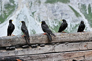 Alpine Chough / Yellow-billed Chough (Pyrrhocorax graculus), flock perching on wooden fence. Dolomites, Italy, July.  -  Philippe Clement