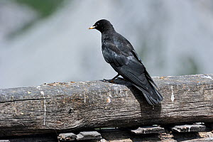 Alpine Chough / Yellow-billed Chough (Pyrrhocorax graculus), juvenile perching on wooden fence. Dolomites, Italy, July.  -  Philippe Clement