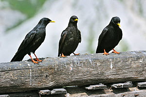 Alpine Choughs / Yellow-billed Choughs (Pyrrhocorax graculus) perching on wooden fence. Dolomites, Italy, July.  -  Philippe Clement