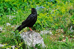 Alpine Chough / Yellow-billed Chough (Pyrrhocorax graculus) perching on rock in alpine meadow. Dolomites, Italy, July.  -  Philippe Clement