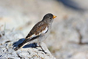 White-winged Snowfinch (Montifringilla nivalis) juvenile perching on rock. Dolomites, Italy, July.  -  Philippe Clement