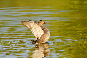 Gadwall (Anas strepera) female duck stretching wings on  Rutland Water, Rutland, UK, April - Terry Whittaker / 2020VISION