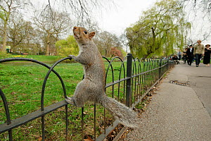 Grey Squirrel (Sciurus carolinensis) climbing fence in parkland, Regent's Park, London, UK, April 2011  -  Terry Whittaker / 2020VISION