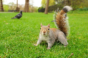 Grey Squirrel (Sciurus carolinensis) on grass in parkland, Regent's Park, London, UK, April 2011  -  Terry Whittaker / 2020VISION
