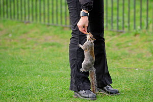 Grey Squirrel (Sciurus carolinensis) climbing up trousers to take food from visitor in parkland, Regent's Park, London, UK, April 2011 - Terry Whittaker / 2020VISION