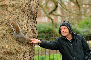 Man reaching out to hand feed Grey squirrel (Sciurus carolinensis) in parkland, Regent's Park, London.  -  Terry Whittaker / 2020VISION