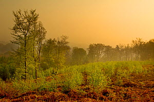 Landscape view of forest at dawn with saplings in the foreground, The National Forest, Midlands, UK, April 2011 - Ben Hall / 2020VISION