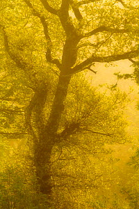 Beech tree (Fagus sylvatica) backlit at dawn, The National Forest, Midlands, UK, April 2011  -  Ben Hall / 2020VISION