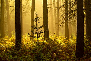 Forest interior at dawn, The National Forest, Midlands, UK, Spring 2011 - Ben Hall / 2020VISION