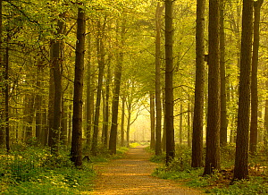 Path leading through forest, The National Forest, Midlands, UK, Spring 2011 - Ben Hall / 2020VISION