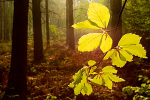 Beech leaves (Fagus sylvatica) backlit at dawn with forest in background, The National Forest, Midlands, UK, April 2011. Did you know? Not only has the National Forest been important in conservation,... - Ben Hall / 2020VISION