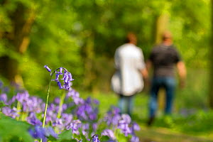 Bluebells (Hyacinthoides non-scripta) at the edge of woodland path with couple walking in the background, The National Forest, UK, Spring, 2011 - Ben Hall / 2020VISION
