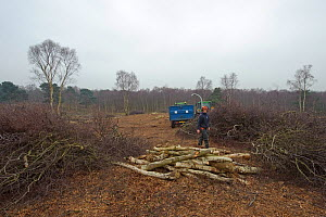 RSPB reserves staff removing birch trees from heathland and chipping waste for recycling, at Minsmere nature reserve, Suffolk, UK. February 2011. Model released  -  Chris Gomersall / 2020VISION