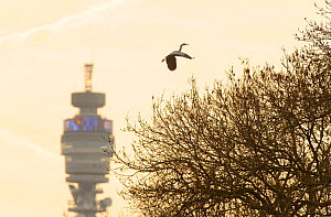 Grey heron (Ardea cinerea) in flight carrying nesting material, flying over Regent's Park with the BT tower in the background, London, UK, April 2011  -  Terry Whittaker / 2020VISION