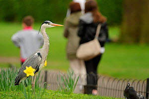 Grey heron (Ardea cinerea) and visitors in parkland, Regent's Park, London, UK, April 2011  -  Terry Whittaker / 2020VISION