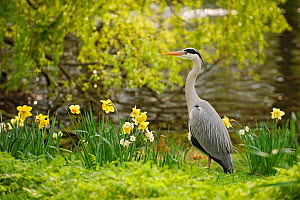 Grey heron (Ardea cinerea) in parkland with daffodils flowering, Regent's Park, London, UK, April 2011 - Terry Whittaker / 2020VISION