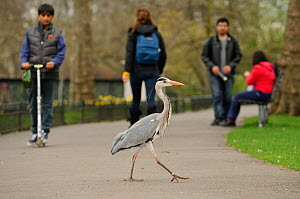 Grey heron (Ardea cinerea) walking across path in  parkland, Regent's Park, London, UK, April 2011  -  Terry Whittaker / 2020VISION