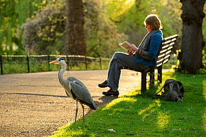 Grey heron (Ardea cinerea) beside visitor reading book on bench in  Regent's Park, London, UK, April 2011. Model released.  -  Terry Whittaker / 2020VISION