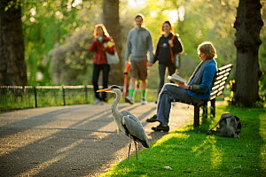 Grey heron (Ardea cinerea) amongst visitors in  Regent's Park, London, UK, April 2011. Photographer quote: 'It was fascinating to watch public reaction to the large numbers of herons in London�s parks...  -  Terry Whittaker / 2020VISION
