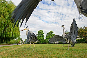 Three Grey herons (Ardea cinerea) fighting in  Regent's Park, London, UK, April 2011.  -  Terry Whittaker / 2020VISION