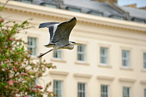 Grey heron (Ardea cinerea) flying past building, Regent's Park, London, UK, May 2011  -  Terry Whittaker / 2020VISION