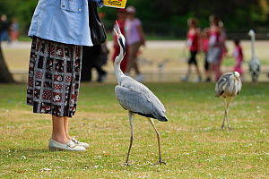 Visitor feeding Grey heron (Ardea cinerea) in  Regent's Park, London, UK, May 2011  -  Terry Whittaker / 2020VISION