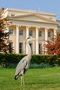 Grey heron (Ardea cinerea) in front of building along Regent's Park, London, UK, May 2011.  -  Terry Whittaker / 2020VISION