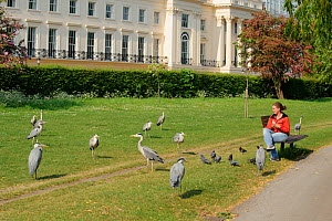Visitor watching Grey heron (Ardea cinerea) and pigeons in Regent's Park, London, UK, April 2011, Model released.  -  Terry Whittaker / 2020VISION