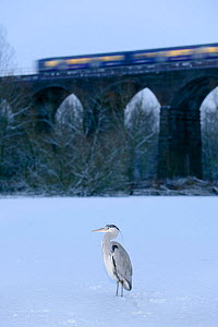 Grey heron (Ardea cinerea) on frozen river, River Tame, Reddish Vale Country Park, Stockport, Greater Manchester, UK, with Northern Rail train on viaduct in the background, December 2010  -  Terry Whittaker / 2020VISION