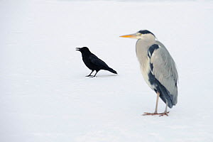 Grey heron (Ardea cinerea) on ice with Carrion crow (Corvus corone), River Tame, Reddish Vale Country Park, Stockport, Greater Manchester, UK, December 2010 - Terry Whittaker / 2020VISION