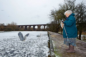 Elderly woman feeding Grey herons (Ardea cinerea) with fish from supermarket on frozen River Tame, Reddish Vale Country Park, Stockport, Greater Manchester, UK, December 2010, Model released - Terry Whittaker / 2020VISION