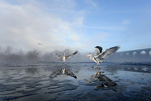 Two Grey herons (Ardea cinerea) on ice, squabbling over fish fed to them by visitors, River Tame, Reddish Vale Country Park, Stockport, Greater Manchester, UK, December 2010, Highly commended, Urban W...  -  Terry Whittaker / 2020VISION
