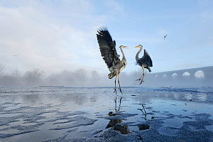 Two Grey herons (Ardea cinerea) squabbling over fish fed to them by visitors,River Tame, Reddish Vale Country Park, Stockport, Greater Manchester, UK, December 2010  -  Terry Whittaker / 2020VISION