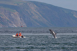 People in dinghy watch a Bottlenose dolphin (Tursiops truncatus) breaching behind their boat, Moray Firth, Inverness-shire, Scotland, UK, July, Note: Severe crop - web use or small repro only  -  John MacPherson / 2020VISION
