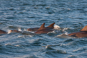Bottlenose dolphin (Tursiops truncatus) group at surface, Moray Firth, Inverness-shire, Scotland, UK, August - John MacPherson / 2020VISION