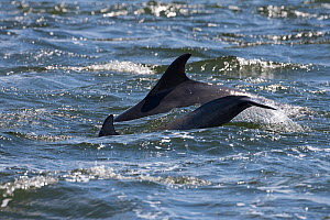 Bottlenose dolphins (Tursiops truncatus) adult and juvenile surfacing, tail slapping, Moray Firth, Inverness-shire, Scotland, UK, August  -  John MacPherson / 2020VISION