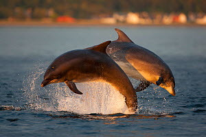 Bottlenose dolphin (Tursiops truncatus) two breaching in evening light, Moray Firth, Inverness-shire, Scotland, UK, August, sequence 1/2. 2020VISION Book Plate. - John MacPherson / 2020VISION