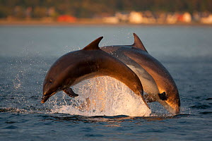 Bottlenose dolphin (Tursiops truncatus) two breaching in evening light, Moray Firth, Inverness-shire, Scotland, UK, August, sequence 2/2. Photographer quote: 'A day of overcast cloud cleared in the la... - John MacPherson / 2020VISION