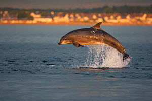 Bottlenose dolphin (Tursiops truncatus) breaching in evening light, Moray Firth, Inverness-shire, Scotland, UK, August, sequence 1/7  -  John MacPherson / 2020VISION