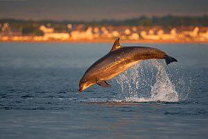 Bottlenose dolphin (Tursiops truncatus) breaching in evening light, Moray Firth, Inverness-shire, Scotland, UK, August, sequence 3/7. 2020VISION Exhibition. 2020VISION Book Plate. - John MacPherson / 2020VISION