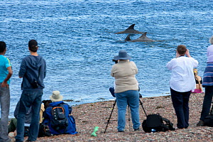 Visitors at Chanonry Point watching Bottlenose dolphin (Tursiops truncatus) surfacing, Moray Firth, Inverness-shire, Scotland, UK, September  -  John MacPherson / 2020VISION