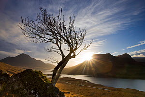 Rowan tree silhouetted above Loch Lurgainn with Cul Mor (left) and Ben More Coigach beyond, Coigach, Highland, Scotland, UK, November. Photographer quote: ^Let�s face it walking uphill is a drag � I g... - Mark Hamblin / 2020VISION