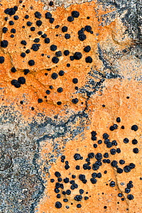Close up of lichen on rock, Assynt, Assynt Uplands, Scotland, UK, January  -  Niall Benvie / 2020VISION