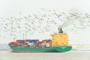 Flock of Avocet (Recurvirostra avosetta) in flight with container ship in background, site of new DP World London Gateway container port, River Thames, Essex, UK, March 2011  -  Terry Whittaker / 2020VISION